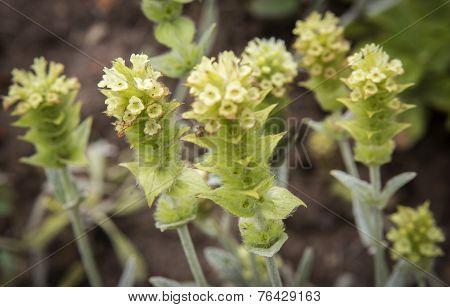 Sideritis Plant