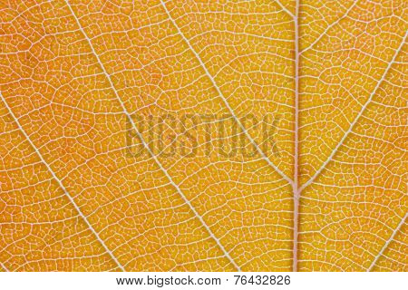 Macro shot of the lamina of a tree leaf turning from orange into a light brown. Midrib and veins clearly visible.