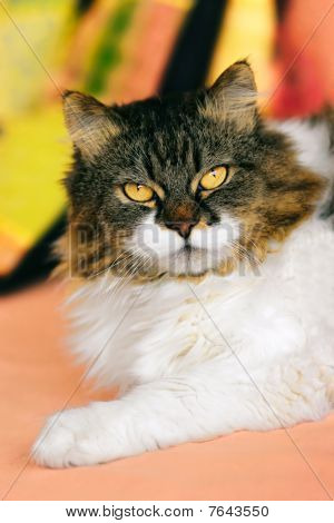 Crossbreed Siberian And Persian Cat.