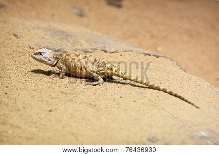 Steppe Agama (trapelus Sanguinolentus)