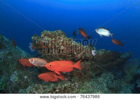Red bigeye fish
