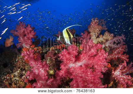 Coral reef and tropical fish (Moorish Idol)