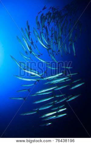 Barracuda fish school