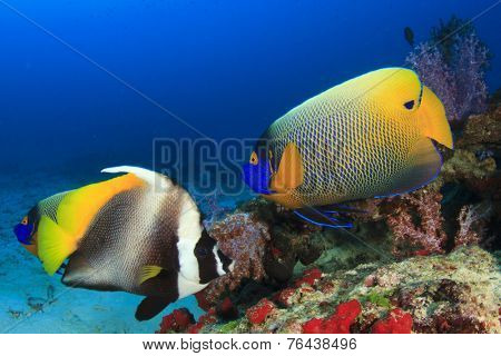 Angelfish and Butterflyfish