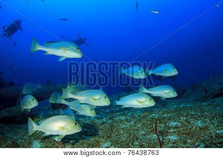Scuba divers and school of Silver Sweetlips fish
