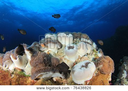 Sea Anemones on coral reef