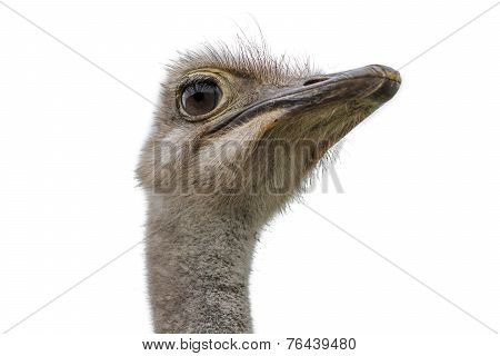 Head Of An Ostrich Isolated On White