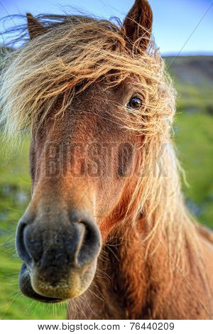 Closeup portrait of Icelandic Pony on a farm in Iceland