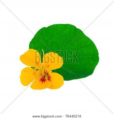 Nasturtium flower isolated on white