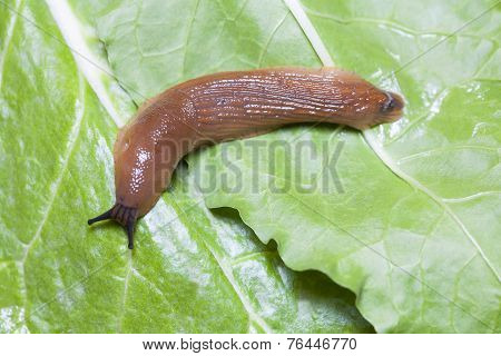 Close Up Of Slug On Leaves