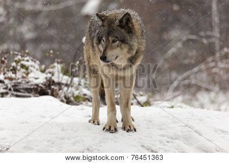 Lone Grey wolf in a winter scene