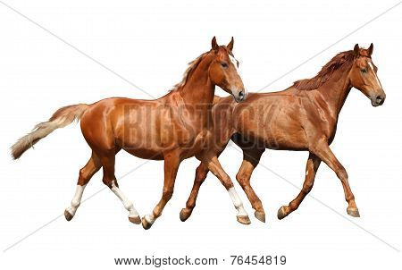 Two Beautiful Horses Running Isolated On White