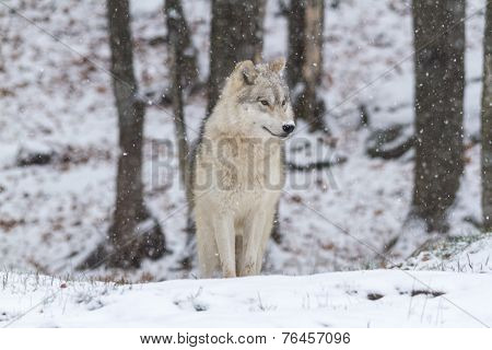 A lone Arctic Wolf in the winter