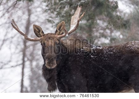 Large male moose in a winter scene
