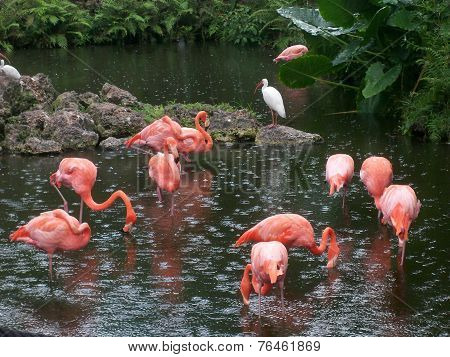 Pink Flamingoes in the Rain