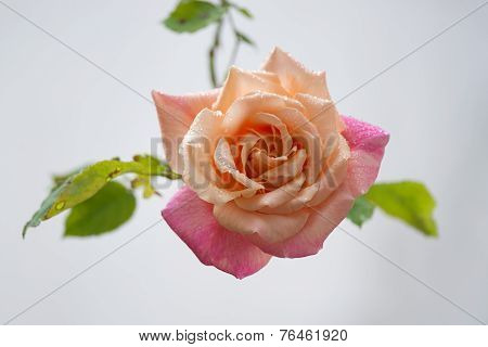 Pink Rose With Drops