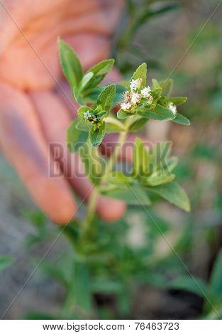 Stevia-flowers