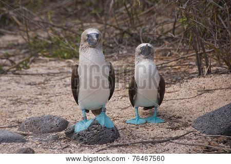 Blue-footed Boobies in Galapagos Islands
