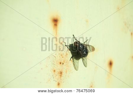 A fly on rusty tin surface