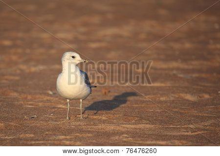 Caspian Gull  (larus Cachinnans)