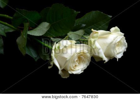 Two White Roses On Black