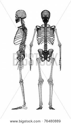 Human Body, Skeleton