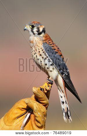 American Kestrel Sitting On Falconer Glove