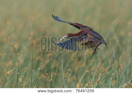 White-faced Ibis Landing In A Marsh