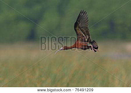 White-faced Ibis Flying Over A Marsh