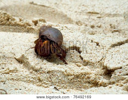 Hermit crab walking on golden beach sand having taken up residence in a discarded marine snail shell or gastropod