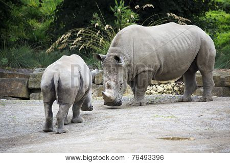 Male Southern White Rhinoceros and cub.
