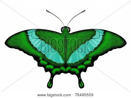 Beatiful Green Butterfly - Papilio palinurus