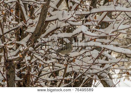 Camouflaged Thrush