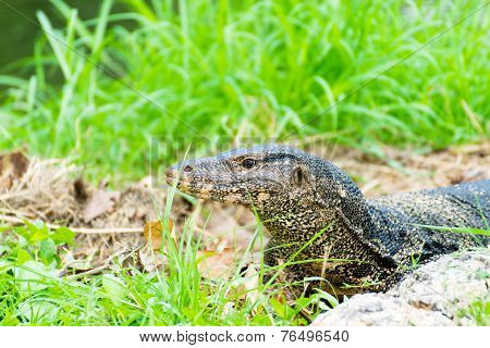 Komodo Dragon, The Largest Lizard In The Park
