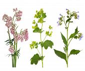 foto of valium  - Valerian ladys mantle and comfrey herbs in flower isolated over white background - JPG