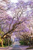 picture of suburban city  - Beautiful purple jacaranda trees blooming during October in Pretoria South Africa