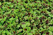 picture of edible  - organic edible amaranth grow in vegetable garden - JPG
