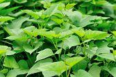picture of potato-field  - green sweet potato plants in growth at field - JPG