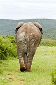image of rear-end  - Large elephant walking away and into some thick overgrown bush - JPG