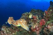 foto of cuttlefish  - Pair Cuttlefish mating - JPG