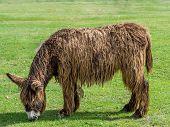 pic of donkey  - Poitou Donkey  - JPG