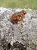 stock photo of alder-tree  - Little tree frog patiently waiting for nightfall - JPG