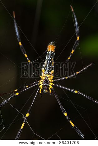 Close Up Spider On The Web (nephila Maculata)