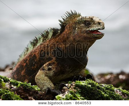 The Marine  Iguana Poses. 3
