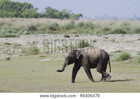 Asian Elephant In Bardia, Nepal