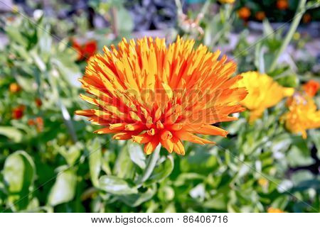 Calendula orange in the garden