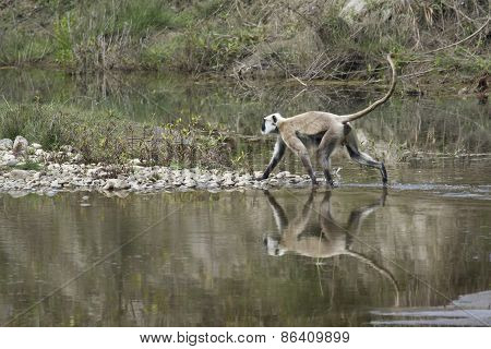 Hanuman Langur crossing the river, at Bardia national park, Nepal