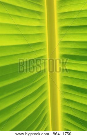 Vertical Background and Texture of Banana Leaf and Vertical Stem