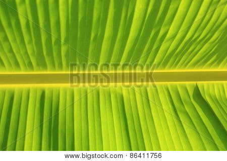 Horizontal Background and Texture of Banana Leaf and Horizontal Stem