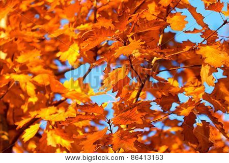 Leaves of oak - autumn leaves